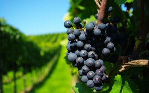 grapes-black