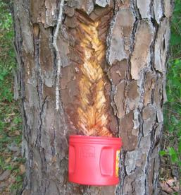pinetreesap